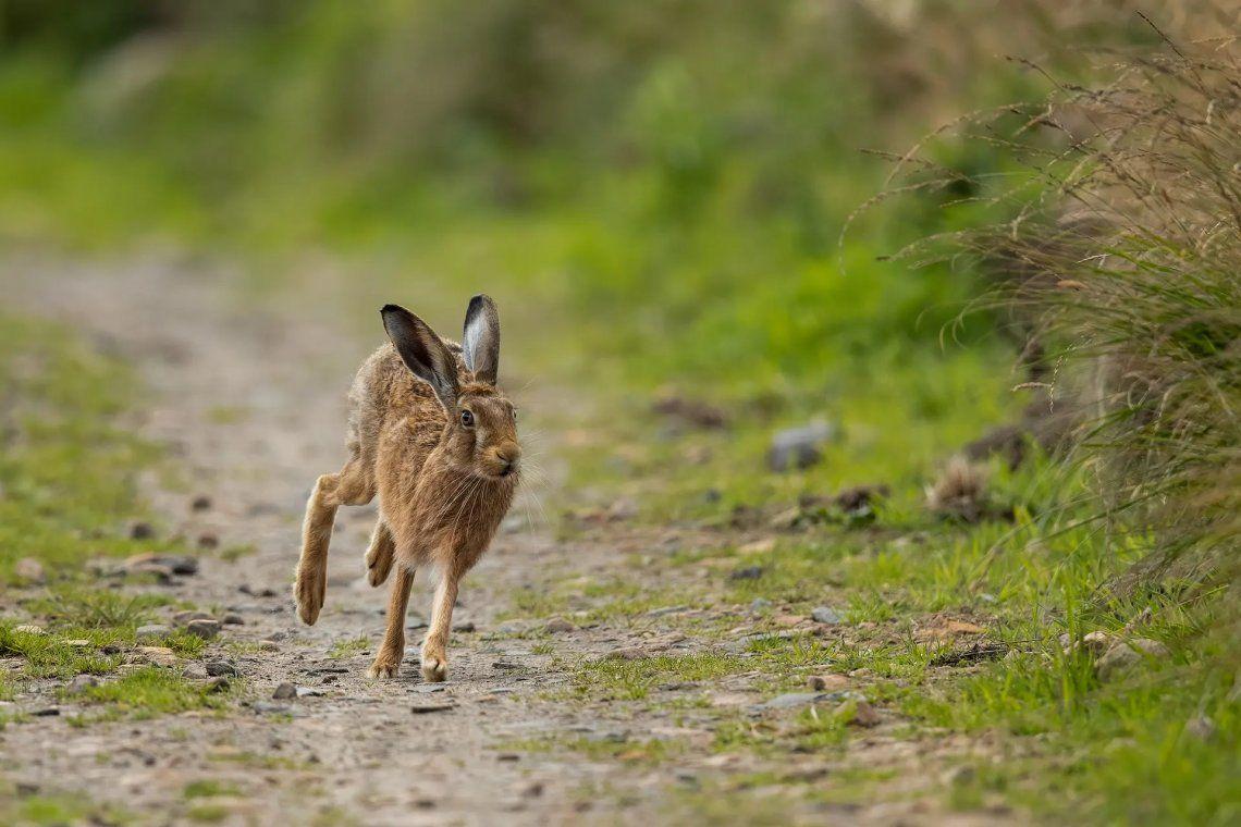 Seleccionado: Running Hare por Conrad Dickinson. Fotografía: Conrad Dickinson
