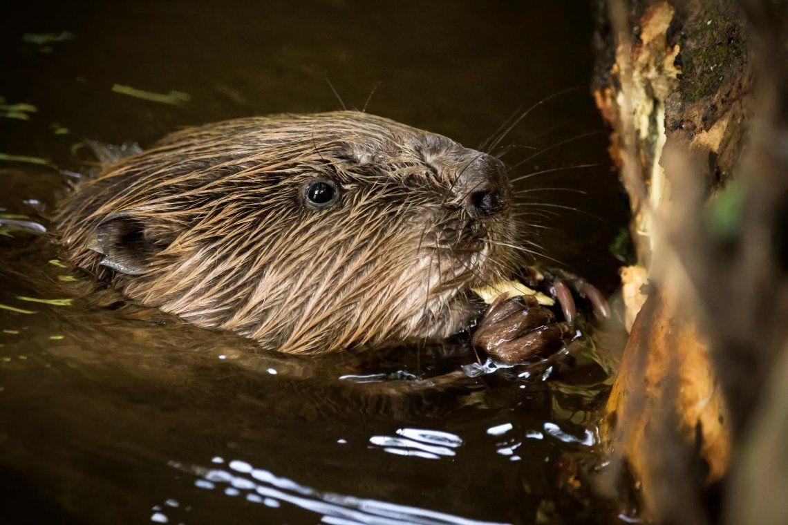 Seleccionado: Beaver por Jason Parry-Wilson. Fotografía: Jason Parry-Wilson