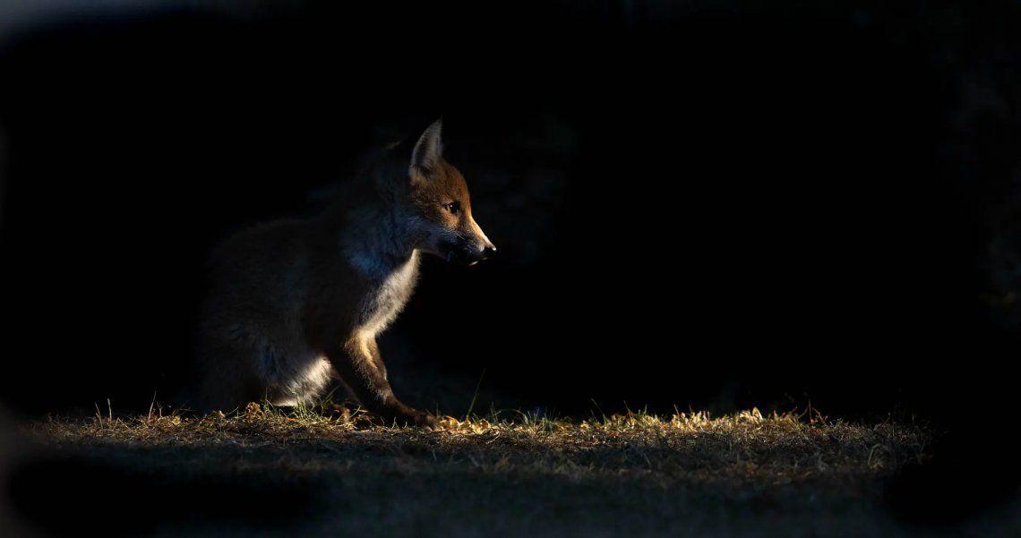 Seleccionado: Fox Cub por Paul McCleverty. Fotografía: Paul McCleverty