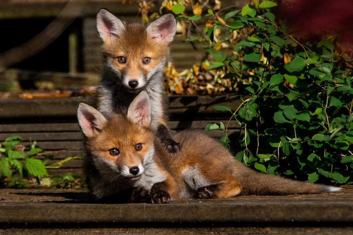 Seleccionado: dos Fox Cubs jugando por Neil McGlashan. Fotografía: Neil McGlashan