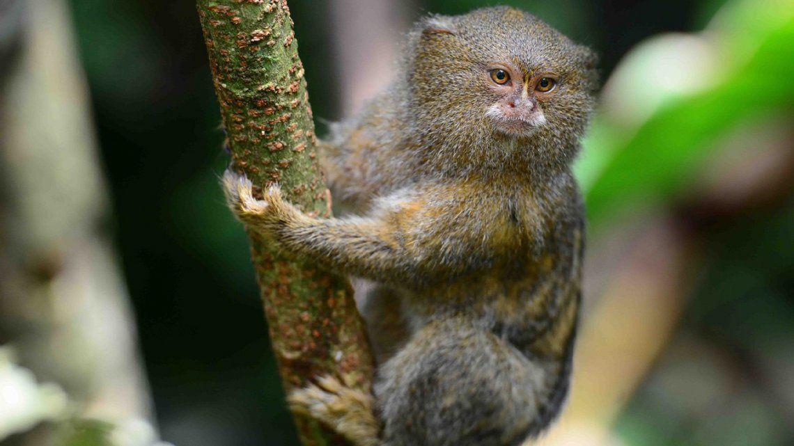 Ecuador: Descubren una nueva especie del mono leoncito.