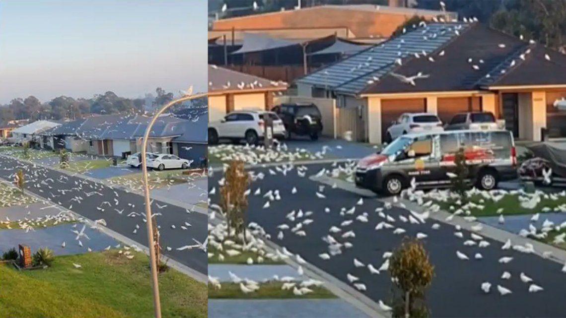 Australia: Miles de cacatúas invaden un suburbio del país.