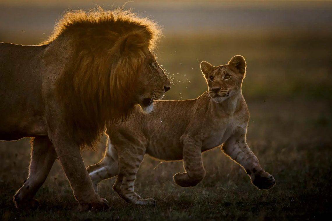 Ganador de la categoría de mamíferos. El rey y su corte. Fotografía: Peter Linde
