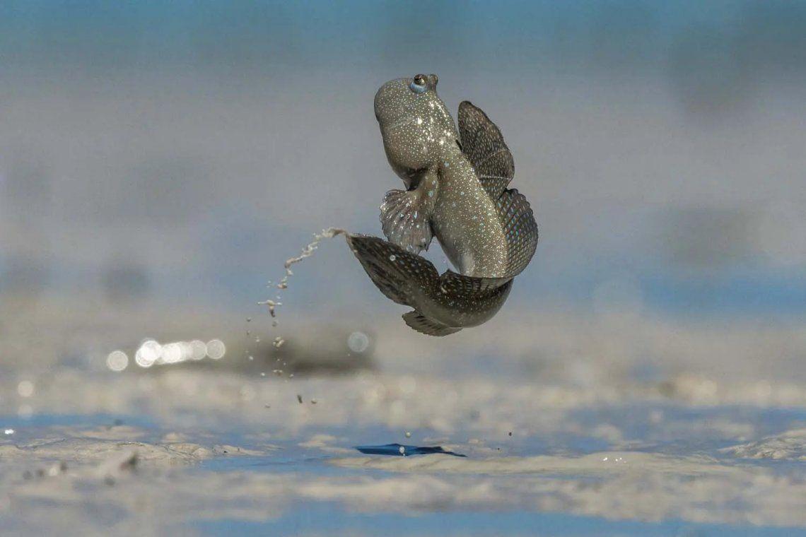 Ganador de la categoría de otros animales. Mudskipper. Fotografía: Scott Portelli