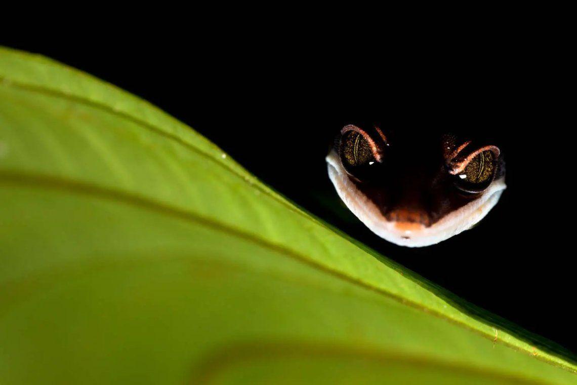 Subcampeón de la categoría Otros Animales. Cheshire Gecko. Fotografía: Bernhard Schubert
