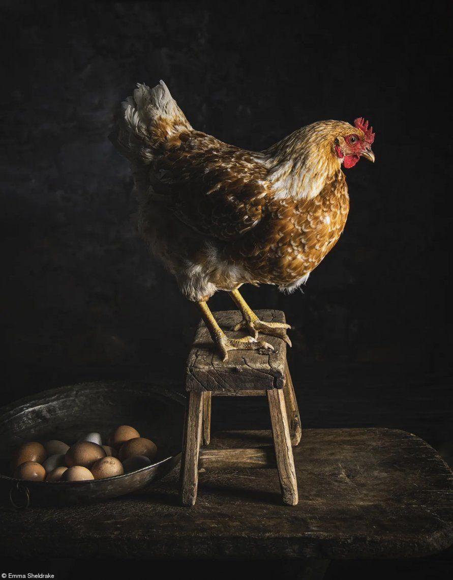La belleza de la recolección de huevos en casa y las maravillosas aves que son amadas como parte de la familia.