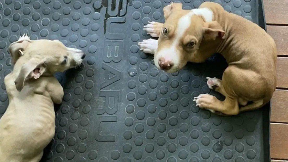 Dos pequeños perros fueron alimentados sin carne. Uno murió