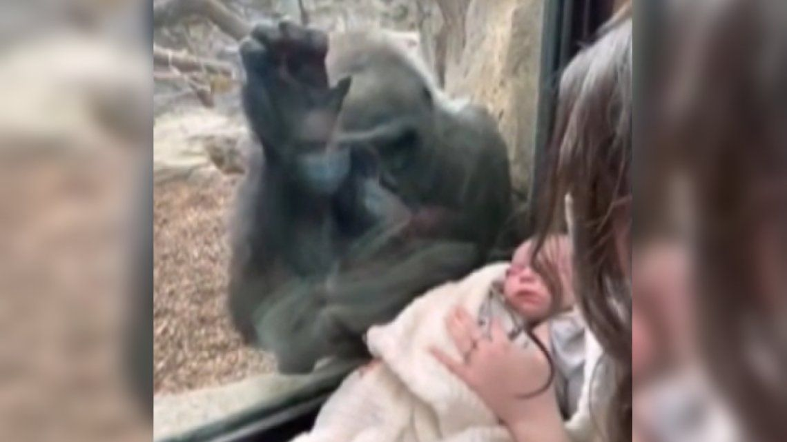 Tierna gorila.