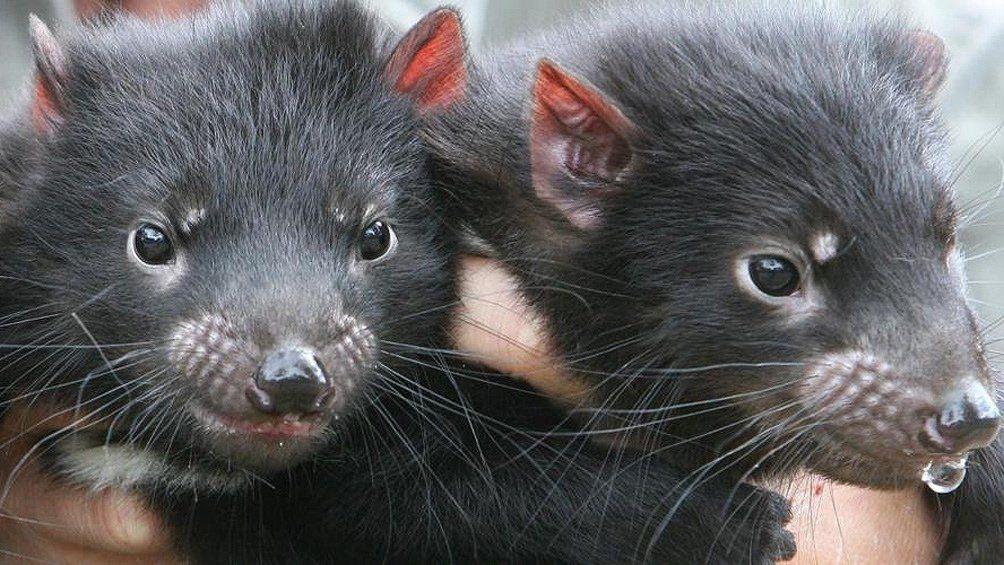 Demonios de Tasmania.
