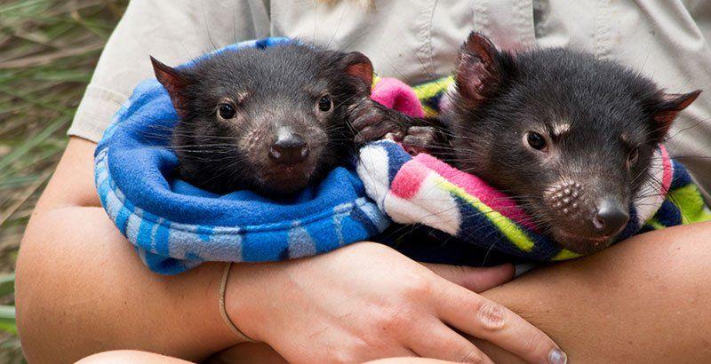 Australia: nacieron demonios de Tasmania en forma natural