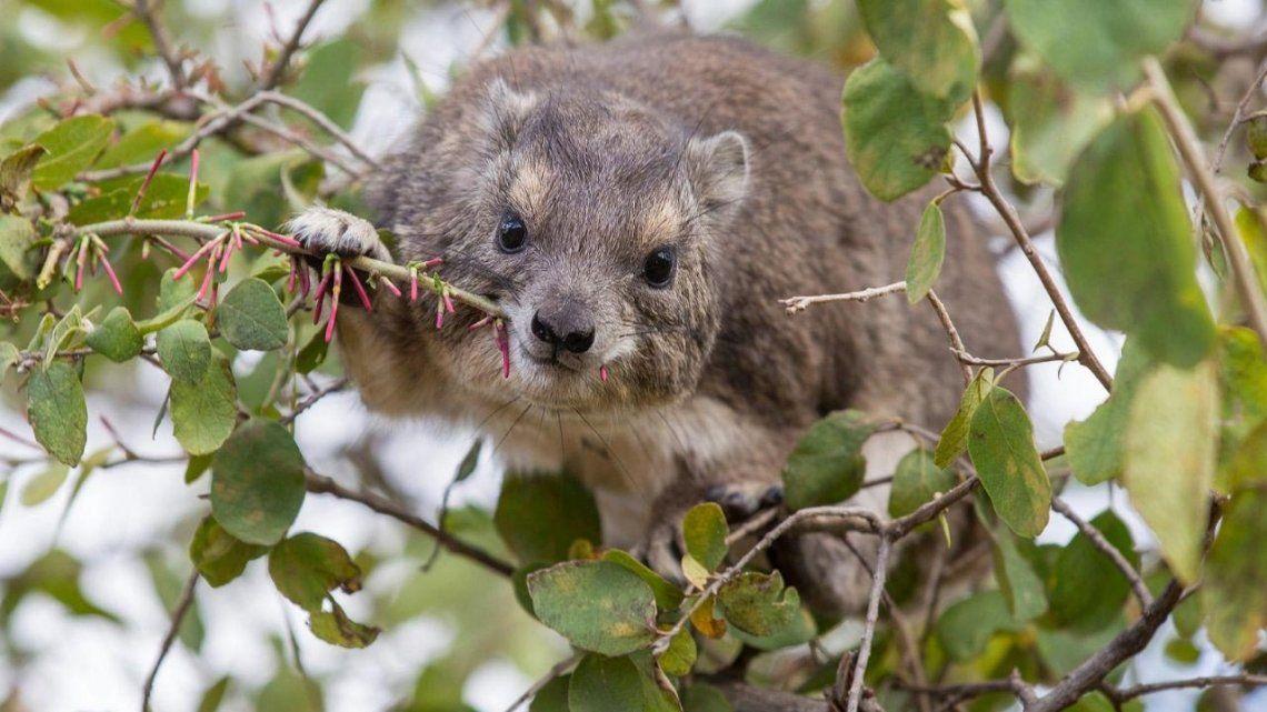 África: Descubren una nueva especie de mamífero.