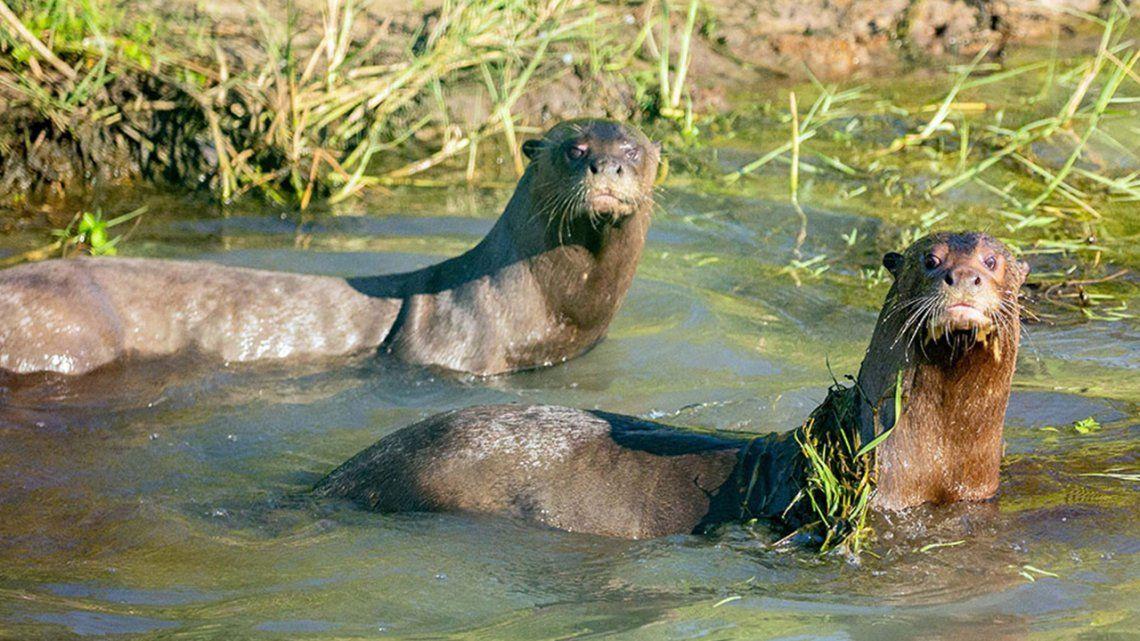 Corrientes: reintroducen nutria gigante traída desde Suecia.