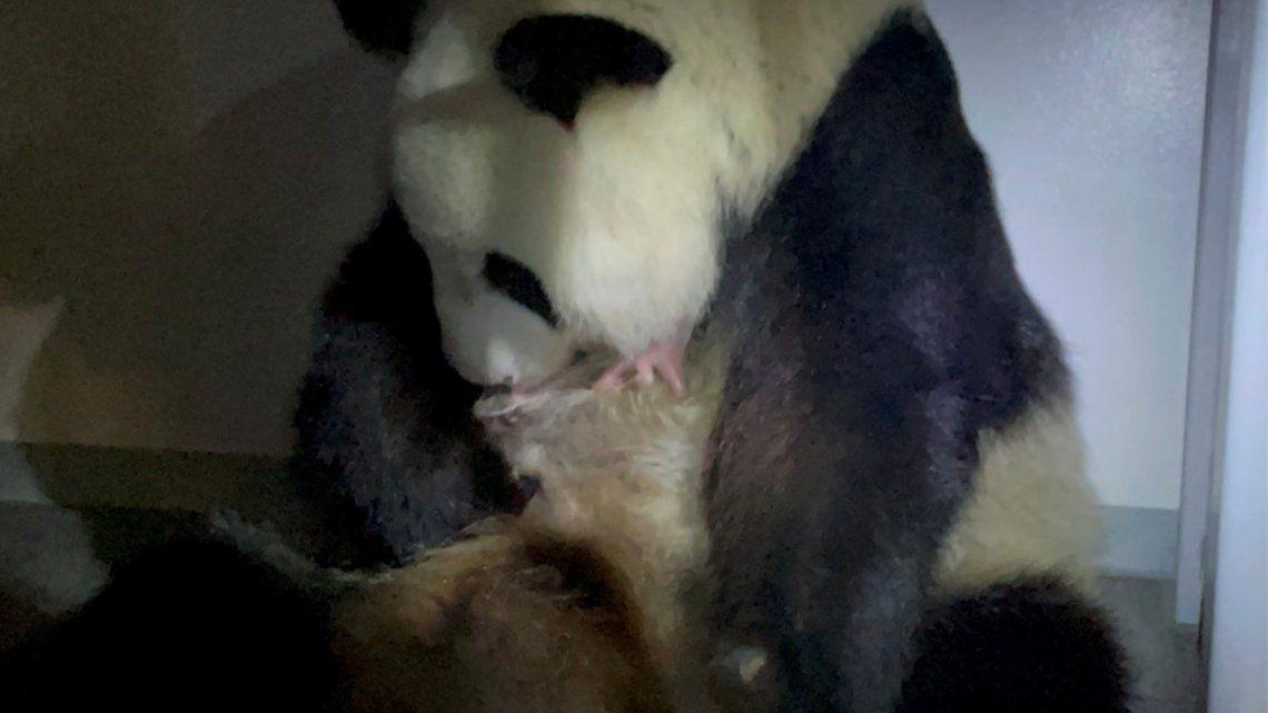 Japón: graban el momento donde una panda da a luz a dos crías.