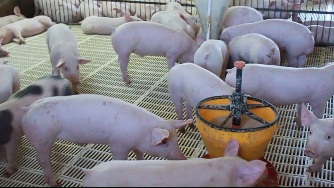 Buscan fomentar la producción de cerdos en Chubut