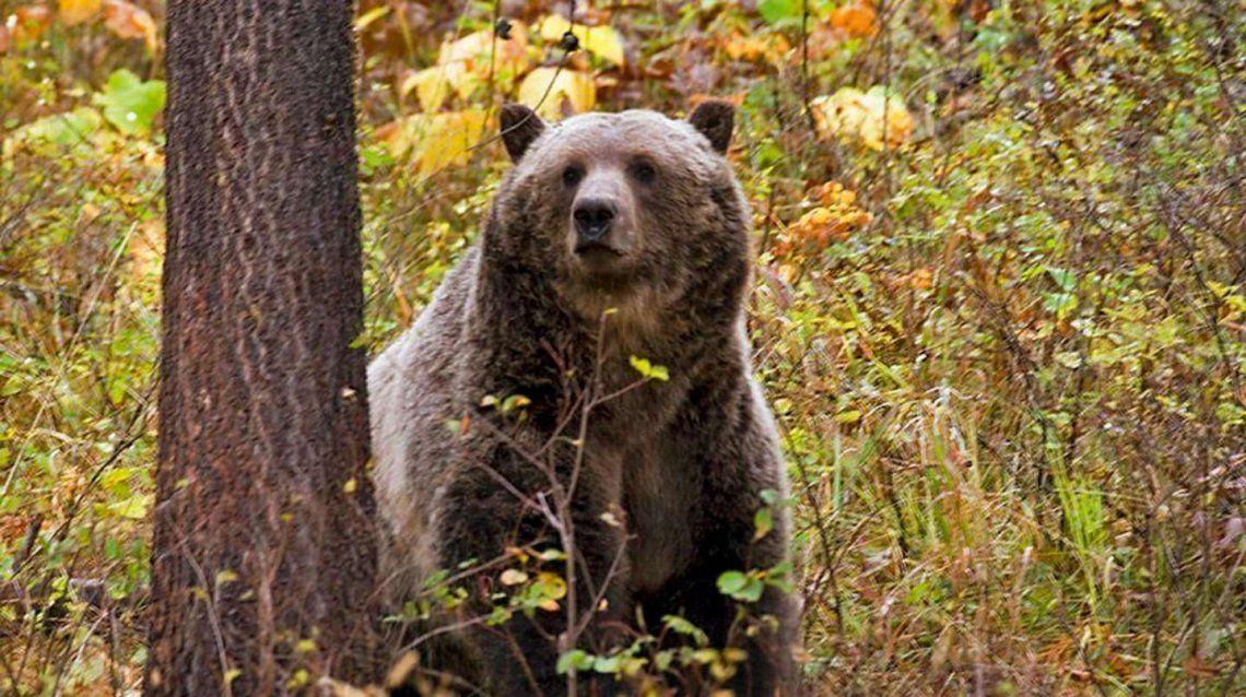 Estados Unidos: un oso mató a una ciclista mientras acampaba