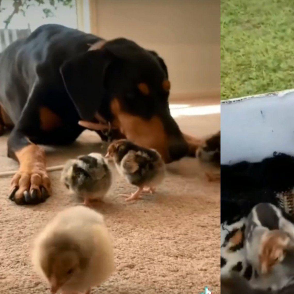 Australia: una perra crió a cuatro pollitos por nueve meses