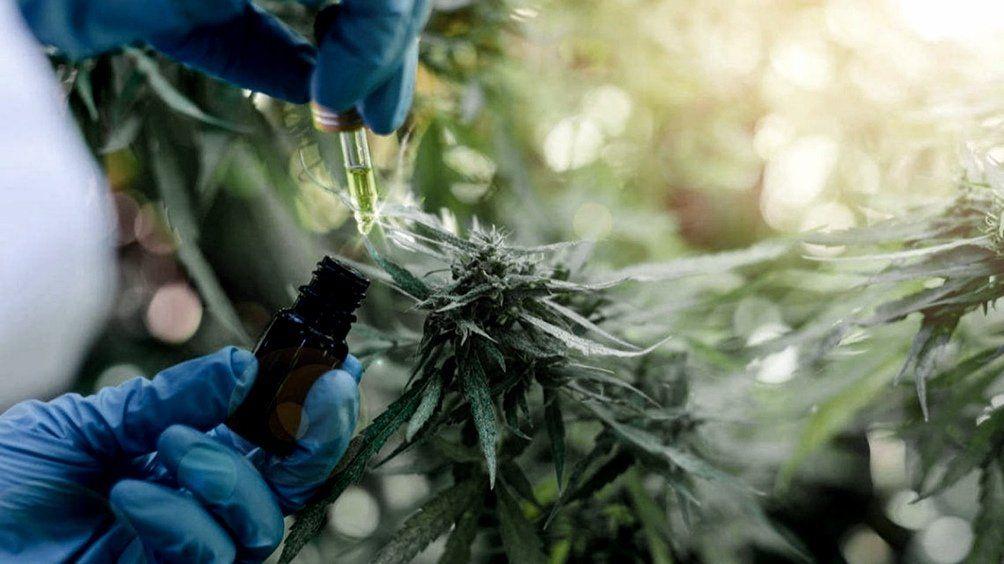 Senado: aprueban marco regulatorio de producción de cannabis.