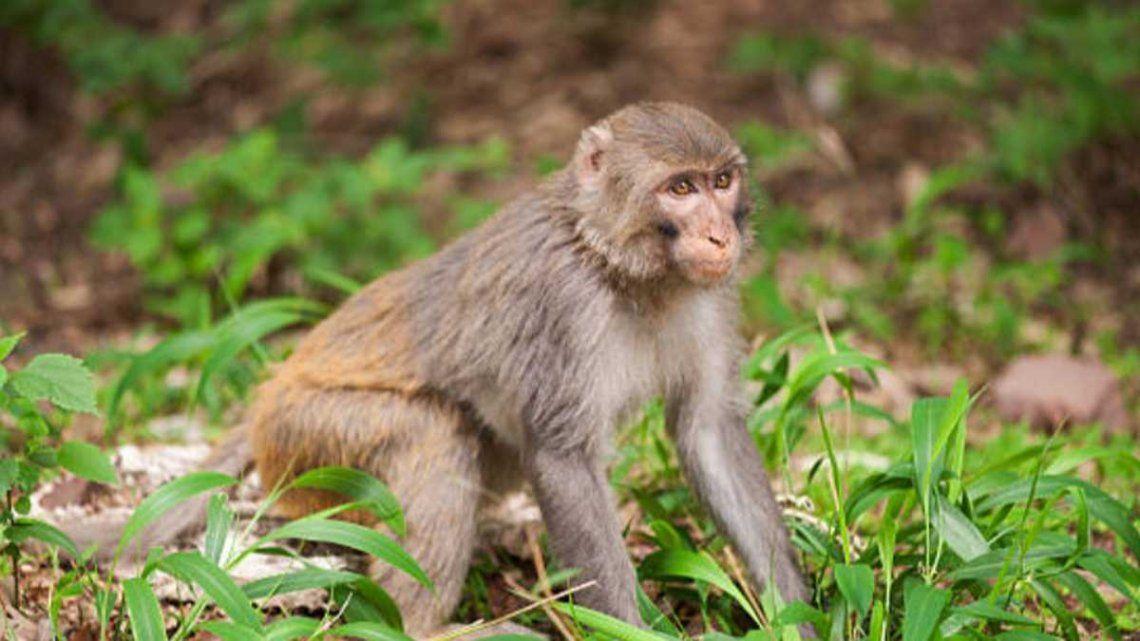 La transmiten los primates.