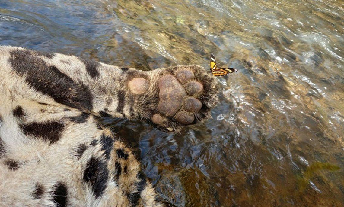 Brasil: matan con saña a uno de los últimos jaguares de la Mata Atlántica
