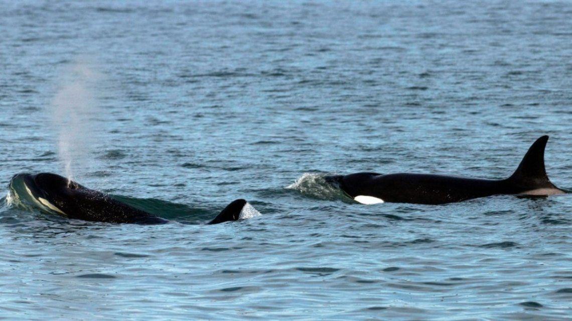 Cría de orcas en Río Negro.
