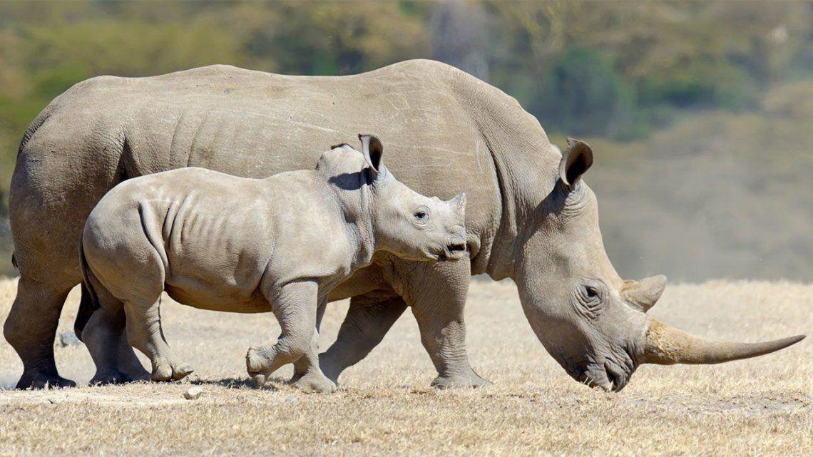 Ningún rinoceronte muerto por la caza furtiva en Kenia.