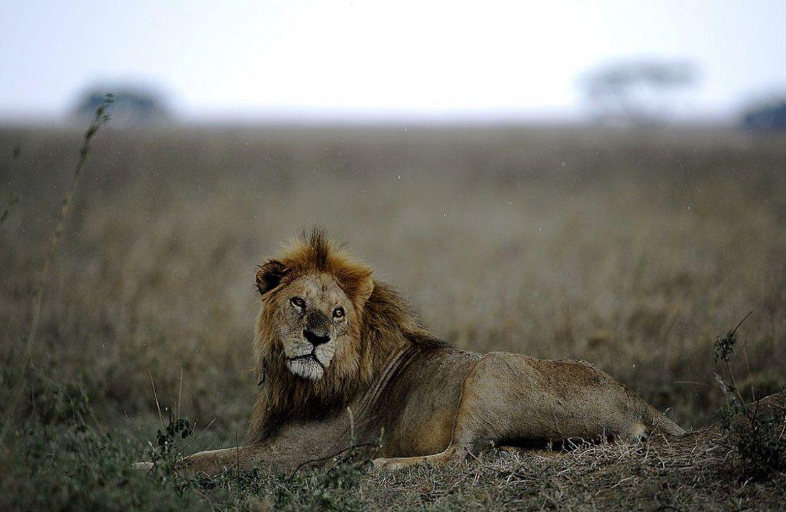 Tanzania: leones matan a tres niños cerca de una reserva natural