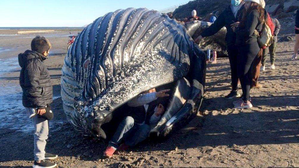 Chubut: apareció muerta una ballena jorobada y piden que la gente no se acerque