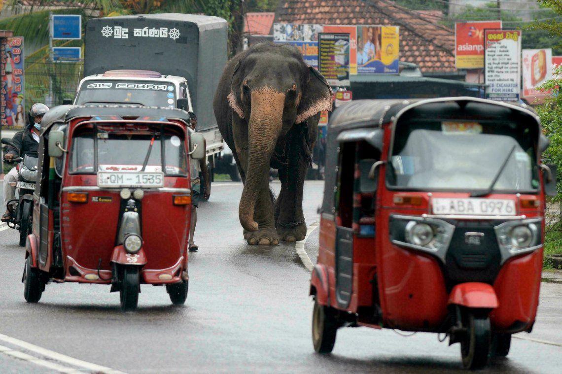 En Sri Lanka los elefantes comparten el tránsito con el resto de los vehículos.