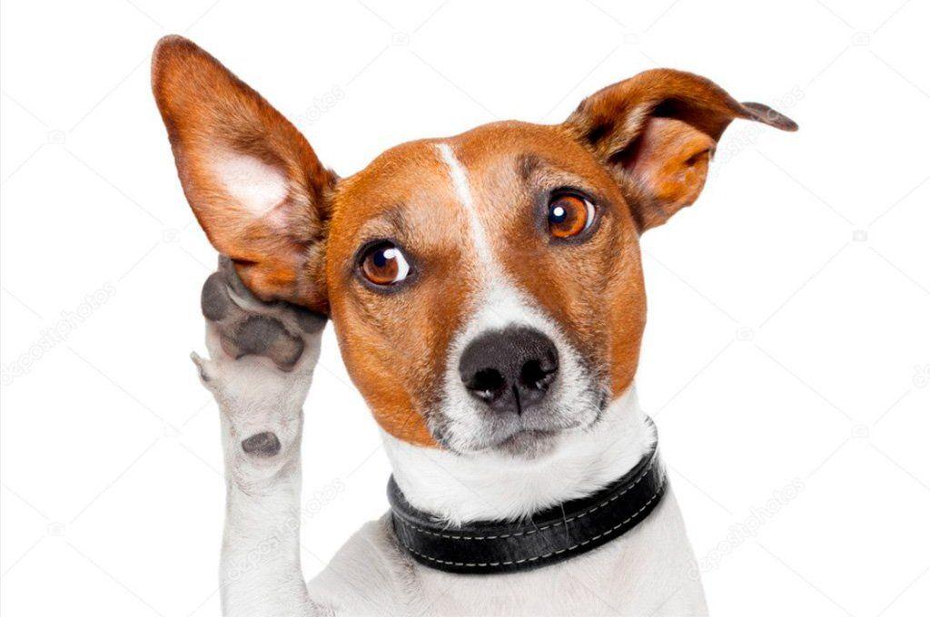 La capacidad auditiva es muy importante para los perros ya que la utilizan como motor de autodefensa propia y de sus familiares más cercanos.