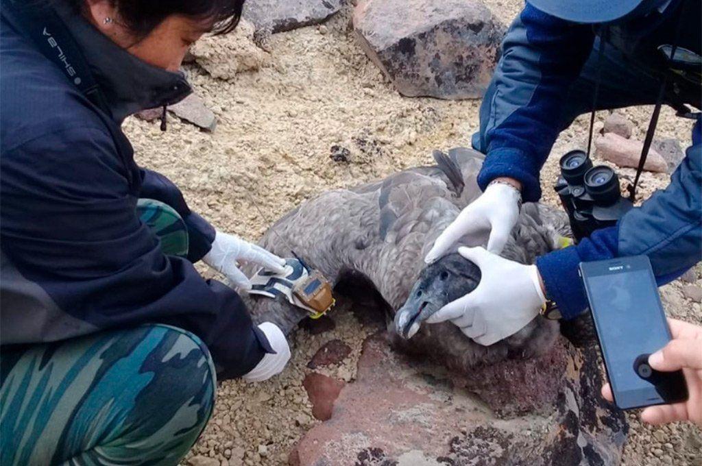 Los especialistas analizaron el cadáver del cóndor muerto.