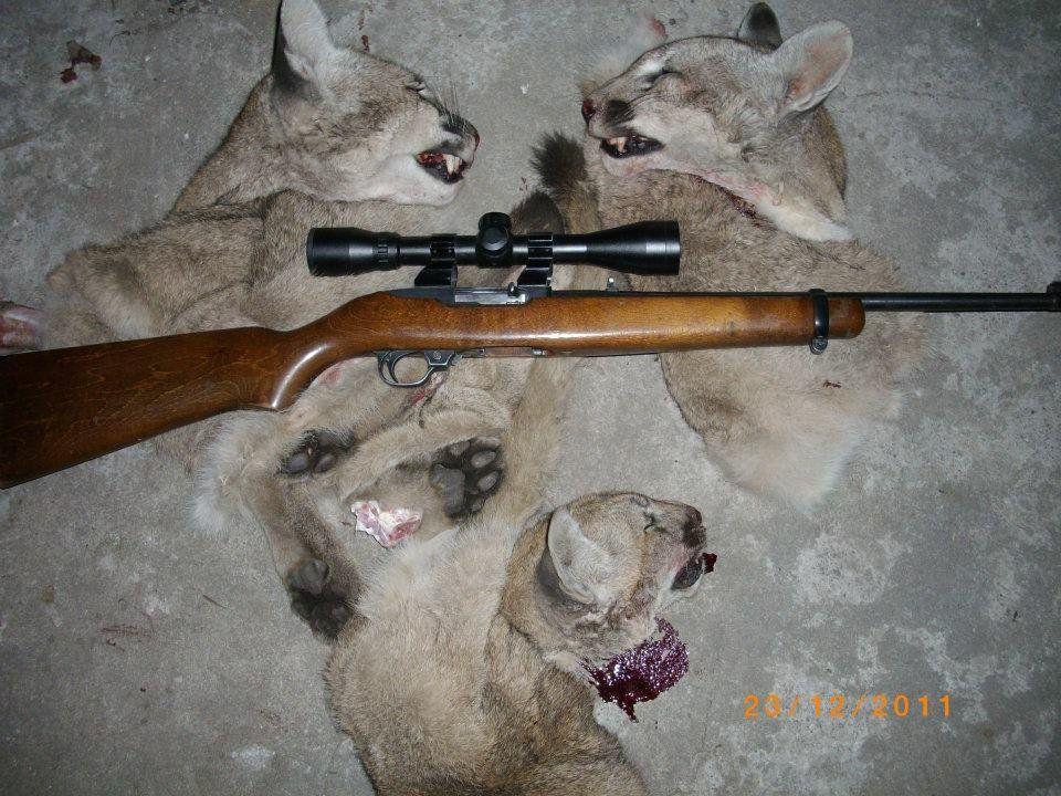 Maltrato animal: No a la caza de pumas, trofeos de sangre