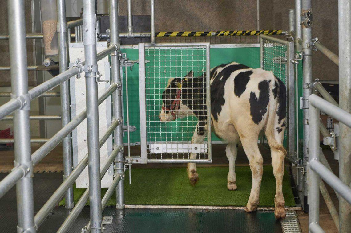 Alemania: enseñan a las vacas a usar el baño para detener el cambio climático