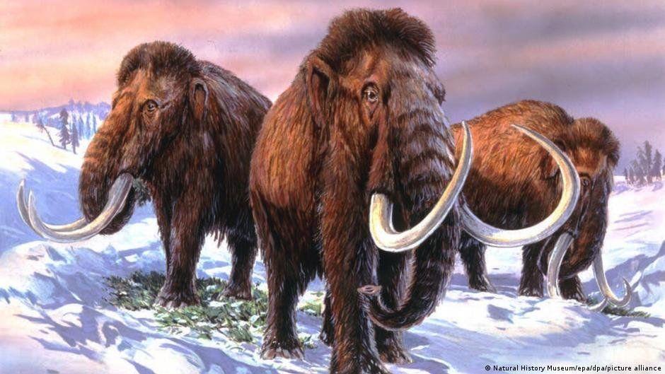 Harvard: mamut lanudo, relacionado con el elefante asiático.
