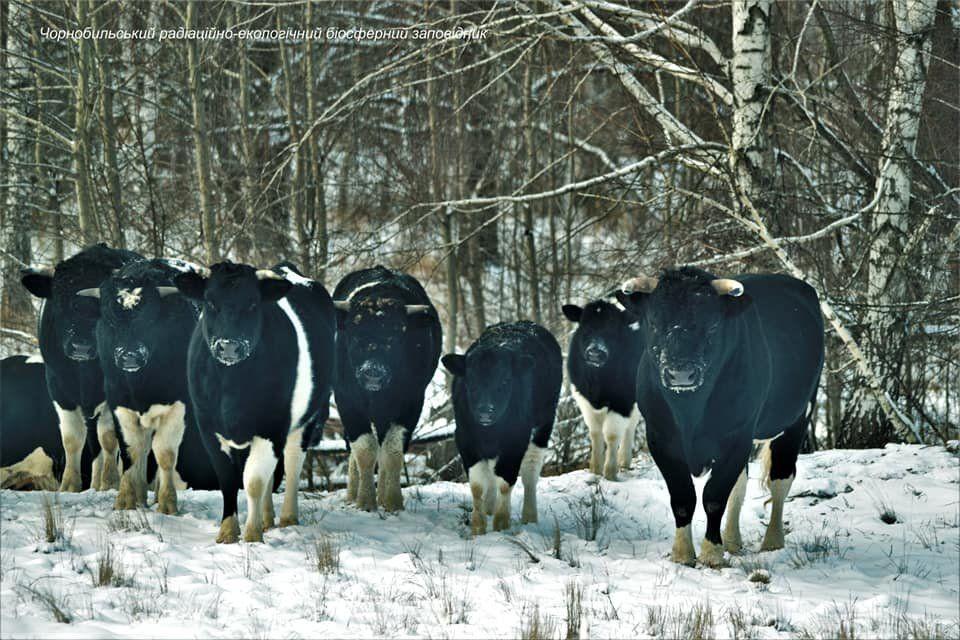 Las vacas de Chernobyl se volvieron salvajes