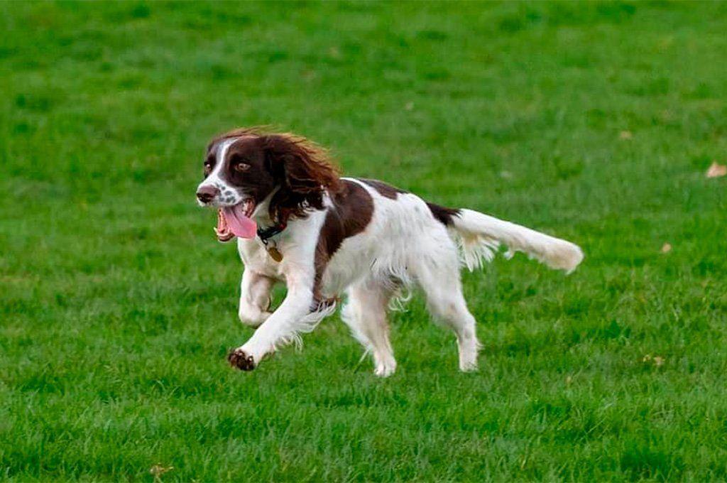 El springer spaniel es un perro ideal para tener en un espacio amplio donde pueda correr a su gusto.
