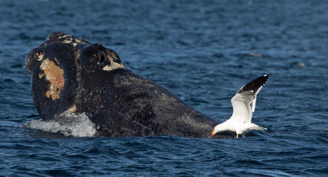 Estudio afirma que la mayor cantidad de gaviotas genera más muertes de ballenas