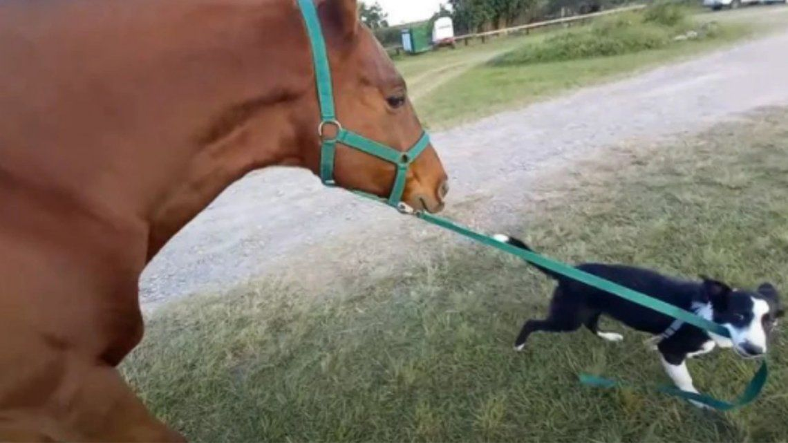Un perro aprendió a pasear a un caballo y es furor en redes.