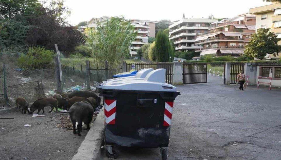 Italia: jabalíes en los contenedores de basura de Roma