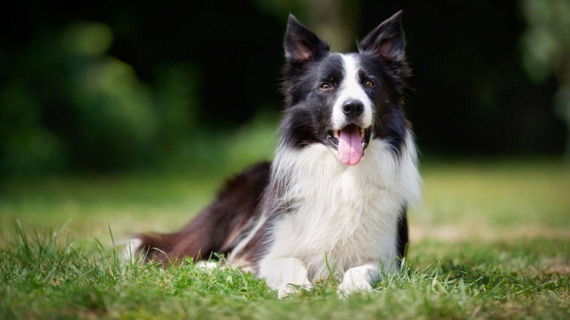 Un estudio dice cuál es la raza de perro más inteligente.