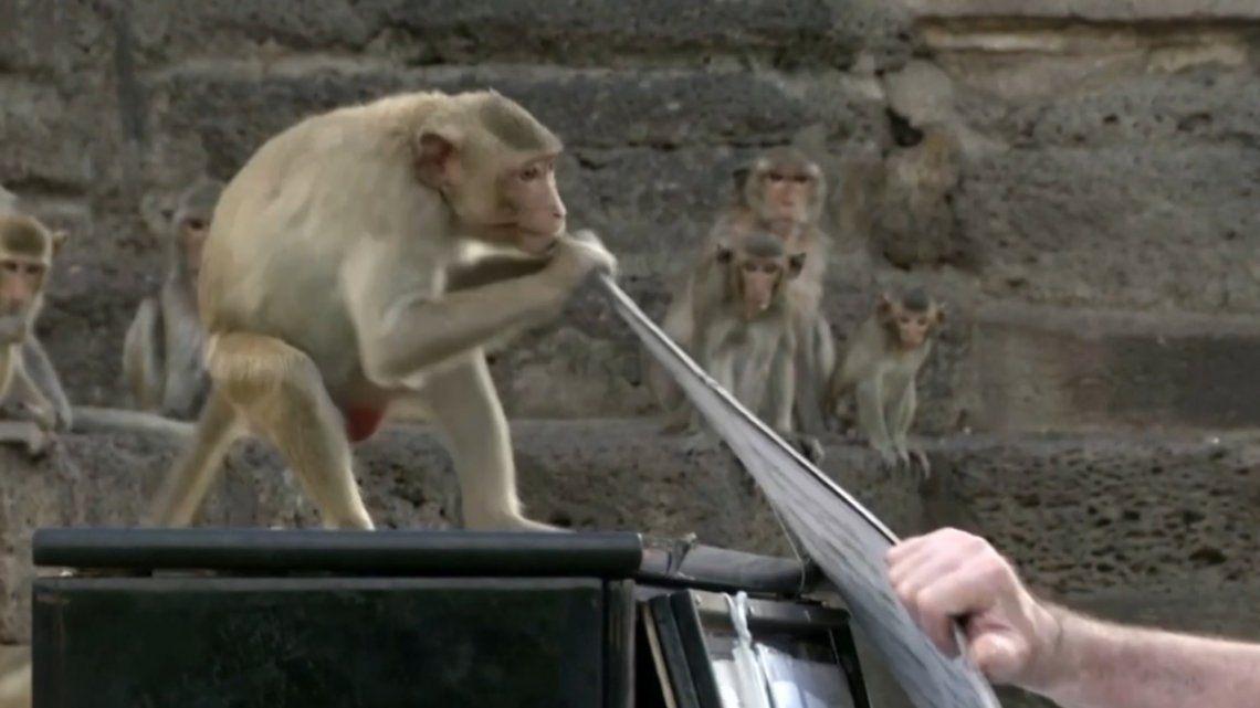 Los monos de Tailandia suelen ser alimentados por los turistas