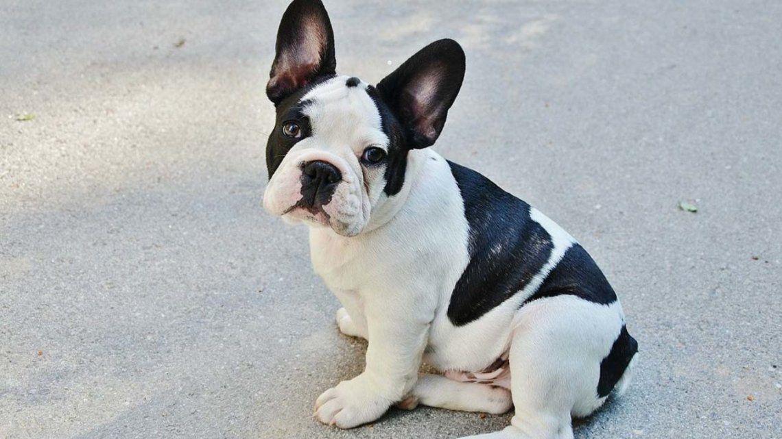 El precio de un cachorro Bull dog francés se duplicó durante la pandemia