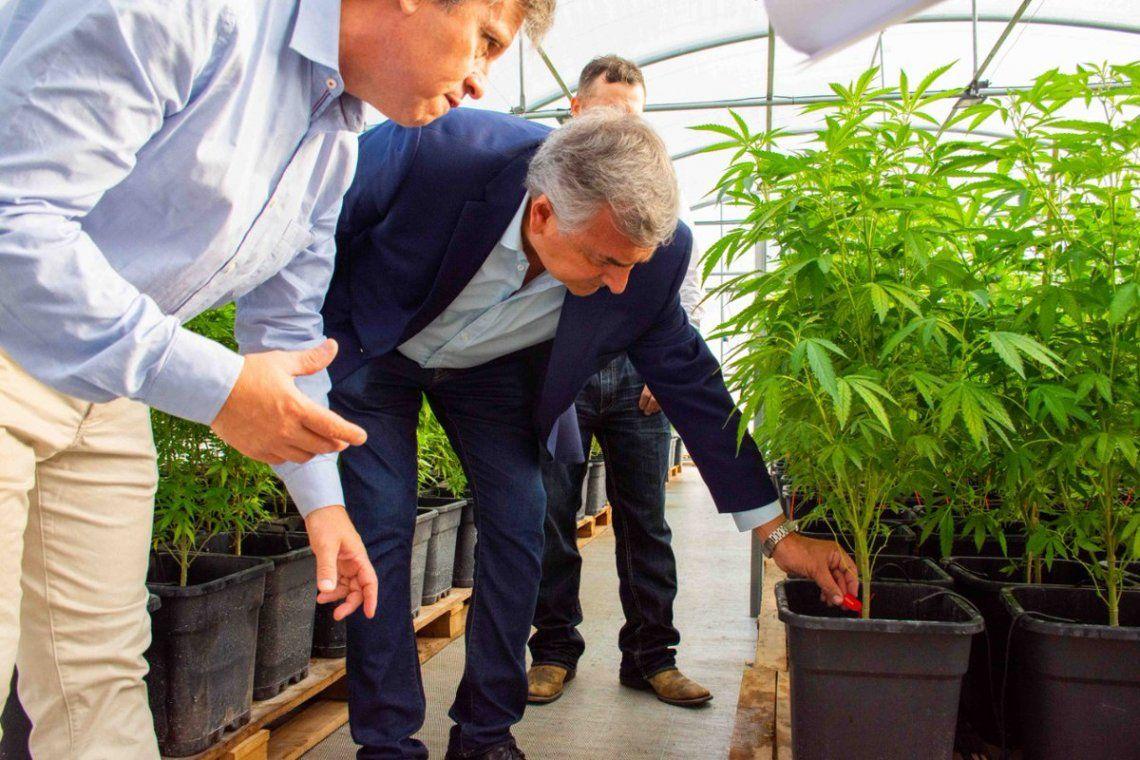 Jujuy: Aceite de cannabis llegaría a las farmacias este año.